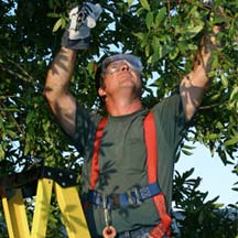 Tree Topping Services in North County San Diego