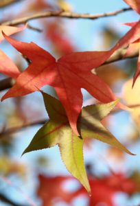 Why do leaves turn colors?