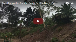 Watch this Tree Removal Video in Rancho Santa Fe